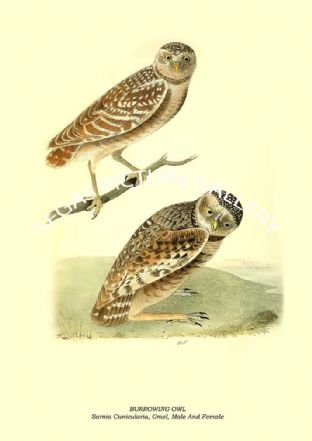 BURROWING OWL - Surnia Cunicularia, Gmel, Male And Female